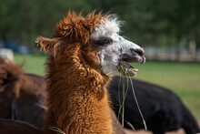 Close Of Cute Alpaca With Head Erect And Funny Expression