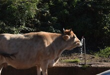 Cow Drinking Water From A Fountain