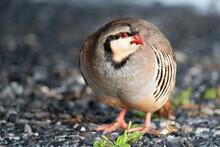 A Beautiful Wild Chukar Bird In The Outdoors.