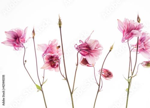 Leinwand Poster aquilegia flower on the white background