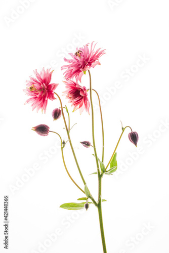 Photo aquilegia flower on the white background