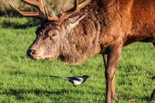 Deer In A Field And Magpie Symbiotic Relationship
