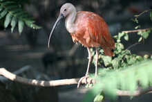 Close-up Of Scarlet Ibis Perching On A Plant