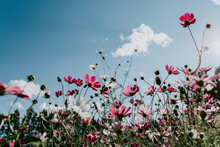 Low Angle View Of Pink Flowering Plants Against Sky
