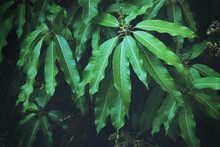 Lush Green Leaves With Flower Buds On Mango Trees