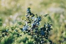Close Up Of Juniper Berries In Nature