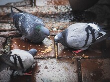 Close-up Of Pigeons Eating