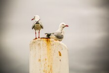 Seagulls Perching On Wooden Post