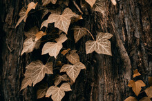 Close-up Of Ivy Leaves On Tree