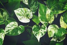 Variegated Leaves Of Devil's Ivy Plant Natural Pattern Background