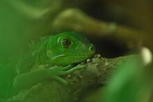 Close-up Of Green Baby Iguana Lizard Hiding Beneath Tree