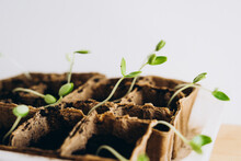 Container With Cucumber Seedlings. The Shoots Of Cucumbers. Green Shoots In Small Seedling Pots.
