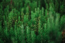 Close-up Of Herbs Growing On Field