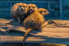 Meerkat Sitting On Tree Trunk