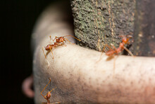 Red Ants Are On The Tree.