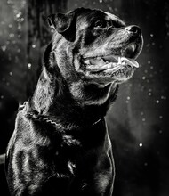 Rottweiler In Black And White View