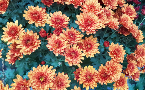 Orange chrysanthemum flowers closeup Fototapet