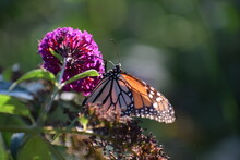 Close-up Of A Monarch Butterfly Pollinating On Purple Flower With Green Background