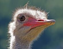 Close-up Of A Ostrich Bird Looking Away