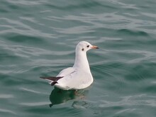 Seagull Swimming In Lake
