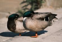 Close-up Of Ducks Sleeping