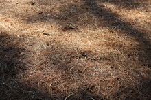 Morning Light And Shadow Over Pine Needles On The Ground
