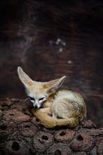 Close-up Of A Fennec Fox.
