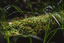 In The Foreground A Trunk Felled In A Forest Overgrown With Moss And Cuckoo Flax.