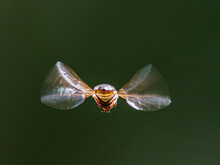 Close-up Of Hover Flying