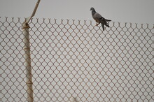 Bird Perching On Chainlink Fence