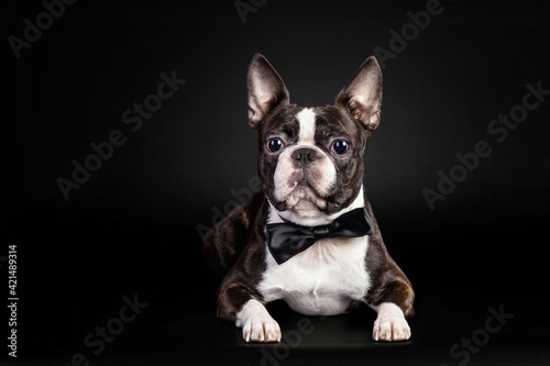 Papel de parede Portrait of the black and white french bulldog puppy wearing a bow tie on black