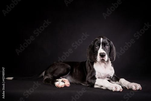 Obraz na plátne Portrait of a great dane puppy on black background