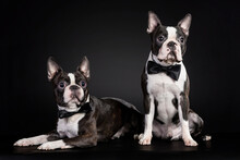 Portrait Of The Black And White French Bulldog Puppies Wearing Bow Ties On Black Background