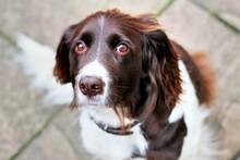 Close-up Portrait Of Heidewachtel Brown And White Dog Brown Eyes