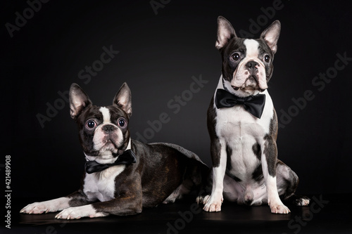Leinwand Poster Portrait of the black and white french bulldog puppies wearing bow ties on black