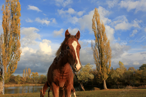 Fototapeta Cute foal horse on a meadow in a mountain valley on a sunny autumn day