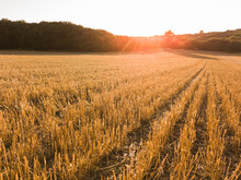 Scenic View Of Wheat Field Against Sky And Sunset At Golden Hour