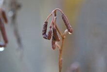 Close-up Of Wilted Pussy Willow In The Rain