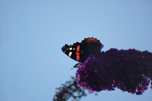 Low Angle View Of Red Admiral Butterfly On Buddleia Against Clear Sky