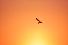 Sea-gull Flying In Sunset Golden Sky