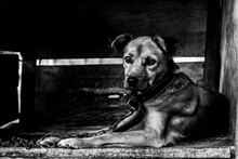 Black And White Potrait Of House Guard Dog Who Monitors Around The House