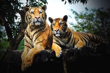Tigers On The Log In A Forest