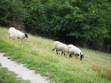 Sheep Grazing In A Field On A Hill