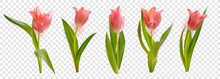 Pink Realistic Vector Tulips Flowers Isolated On Transparent Background. Spring Floral Vector Illustration