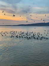 Birds Swim In The Sea And Fly Over The Sea At Sunset