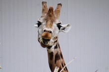 Headshot Of A Giraffe With A Blank Background