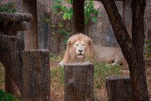 Male White Lion Relax On Park In Zoo
