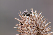 Macro Of Spiky Seeds With Barbs And Thorny Thistle Like Spikes As Autumn And Winter Herbs On A Twig Show Sharp Thorns And Well Protected Seeds With Needles Detail And Close Up With Blurred Background