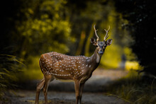 Spotted Deer In The Forest!