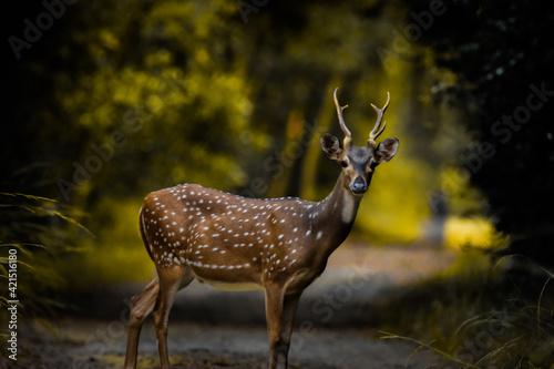 Fototapeta Spotted deer in the forest! obraz
